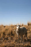 Sheep. White sheep standing in a field Stock Photography