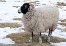Sheep. Wooly sheep in snowy field Royalty Free Stock Image