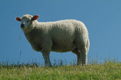Sheep. On the island sylt, gemany Stock Photography