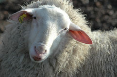 Sheep. Dutch sheep Royalty Free Stock Images