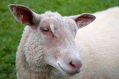 Sheep. Close up of a sheep Stock Image