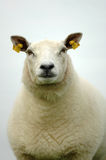 Sheep. Portrait of a big bossy ewe looking down at the camera Stock Photos