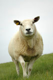 Sheep. Close up of a single sheep walking in closer and looking down at the camera Stock Image