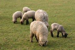 Sheep. S outdoor stock photos