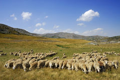 Sheep. On the Bistra mountain from Macedonia Royalty Free Stock Photos