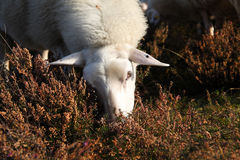 Sheep. Single sheep eating from heather Royalty Free Stock Photo
