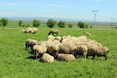 Sheep2 图库摄影