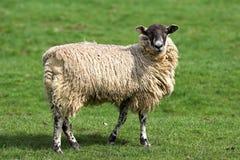 Sheep. Turning head to look at camera stock image