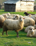 Sheep. Flock of Sheep Stock Photography