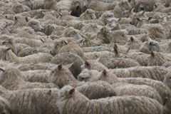 Sheep. New zealand: 4 million people, 18 million sheep royalty free stock image
