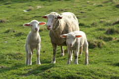 Sheep. With two lambs Stock Photo