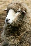 Sheep. A shot of an Australian marino sheep stock photo