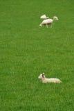 Sheep Stock Image