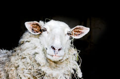 Sheep. Portrait isolated on black royalty free stock photography