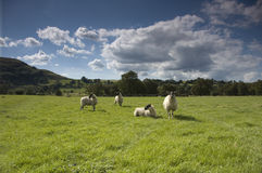 Sheep. In meadow, lake district, uk Stock Photography
