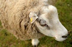Sheep. A sheep, eating something Royalty Free Stock Photography
