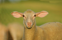 Sheep. A head sheep French close Stock Images