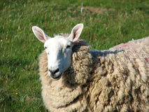 Sheep. A sheep Royalty Free Stock Images