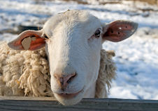 Sheep. Eye contact with a female sheep with a tag in her ear Royalty Free Stock Photography