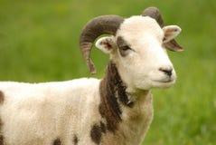 Sheep Royalty Free Stock Image