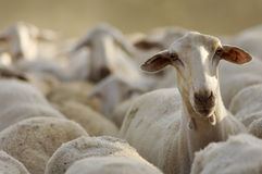 Sheep. Standing out among the herd Royalty Free Stock Photography