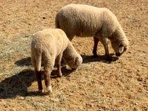 Sheep Royalty Free Stock Photo