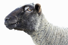 Sheep. A happy black and grey Romney sheep with a smile on her face stock image