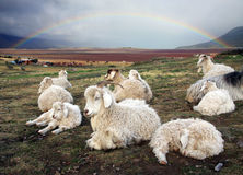 Sheep. A herd of sheeps at the ranch in Patagonia Stock Image