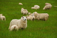 The sheep Royalty Free Stock Photo