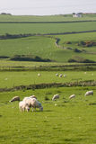Sheep. Grazing on a hillside in Wales Royalty Free Stock Photo