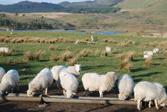 Sheep. Welsh hill sheep farming in the Cambrian mountains royalty free stock photography
