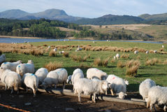 Sheep. Welsh hill sheep farming in the Cambrian mountains stock image