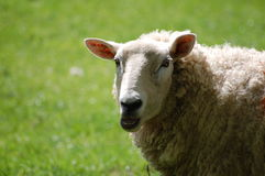 Sheep. A generic picture of a sheep on a farm, could possibly be used for an animal rights campaign Royalty Free Stock Photo