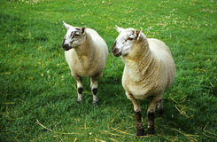Sheep. Two sheep wating for feeding time stock image