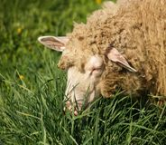 Sheep. On the green pasture royalty free stock photography