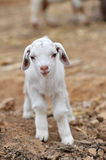 Sheep. Favorite feature cute little pathetic  Tame Royalty Free Stock Photo