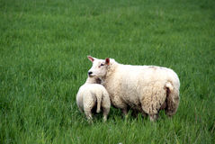 Sheep. Ewe looking after her lamb on a green pasture Royalty Free Stock Image