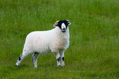 Sheep. Standing in the field Royalty Free Stock Images