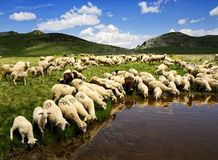Sheep. On the Bistra mountain drinking water on the glacier lake Stock Photos
