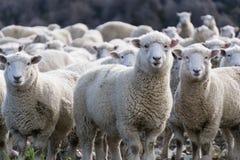 Free Sheep Royalty Free Stock Photos - 98463238
