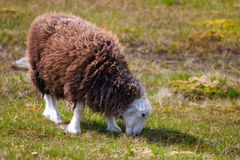 Sheep. In Sedbergh in Great Britain Royalty Free Stock Images