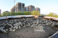 Sheep. A flock of sheep in a sheepfold, behind the blocks of Bucharest Royalty Free Stock Images