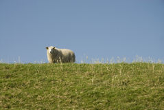 Sheep above on the dike Royalty Free Stock Images