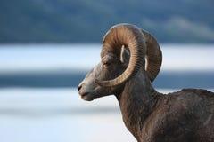 Sheep Above Lake Stock Images