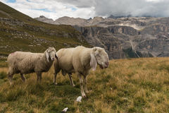 Sheep above Val Gardena in Dolomites Royalty Free Stock Photography