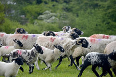 Sheep above Windermere Royalty Free Stock Images