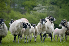 Sheep above Windermere Stock Photos