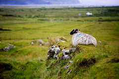Sheep on Achill island Royalty Free Stock Images