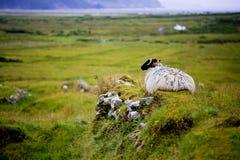 Sheep on Achill island. Blackhead sheep on the Achill island, Ireland Royalty Free Stock Images