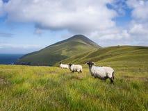 Sheep on Achill Island, Ireland. Three sheep looking into the camera on Achill Island, Ireland Royalty Free Stock Image